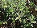 Pinus wangii ssp kwangtungensis, Ruyuan, Shaoguan, Guangdong, China 1.jpg