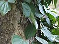 Piper ¿ species ? (5594961391).jpg