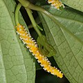 Piper kadsura (flower female s2).jpg