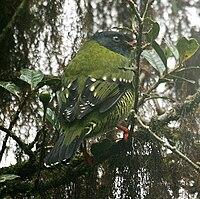 Pipreola arcuata (male) -NW Ecuador-4