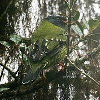 Pipreola arcuata (male) -NW Ecuador-4.jpg