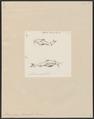 Piramutana blochii - 1700-1880 - Print - Iconographia Zoologica - Special Collections University of Amsterdam - UBA01 IZ14600095.tif