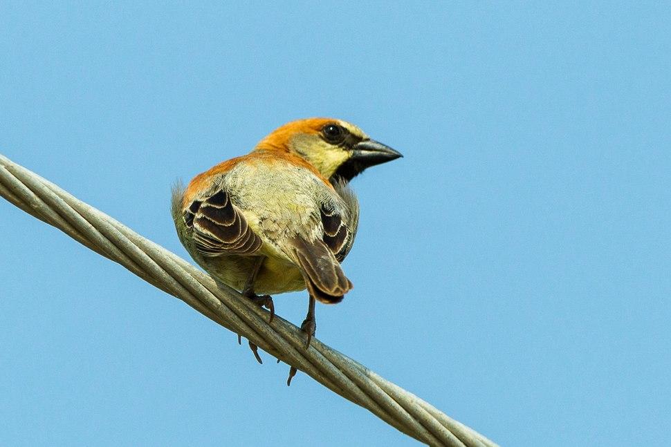 Plain-backed Sparrow - Thailand S4E6685 (22638588530)