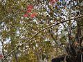 Plaksha (Sanskrit- प्लक्षः) (8482242222).jpg