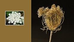 Plant-Daucus carota-Wilde peen.jpg