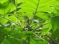 Plant Canarium resiniferum flowers DSCN8619 02.jpg