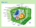 Plant cell structure bn.png