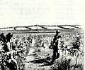Plantaciones de Uvas en Chanco 1903.jpg