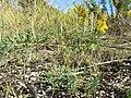 Plantago coronopus sl1.jpg