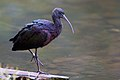 Plegadis falcinellus -Healesville Sanctuary, Victoria, Australia-8a.jpg