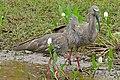 Plumbeous Ibis (Theristicus caerulescens) couple (29063136725).jpg