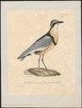Pluvianus aegyptius - 1825-1834 - Print - Iconographia Zoologica - Special Collections University of Amsterdam - UBA01 IZ17200293.tif