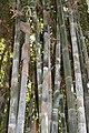 Poales - Bambusa vulgaris - 12.jpg