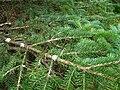 Podlaskie - Suprasl - Kopna Gora - Arboretum - Picea pungens - branch.JPG