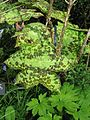 Podophyllum Spotty Dotty (14005010882).jpg
