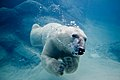 Polar bear swimming in zoo.jpg