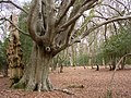 Pollarded beech tree in Bignell Wood, New Forest - geograph.org.uk - 135771.jpg