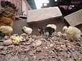 Pollo frente a su madre en el jardin 07.JPG