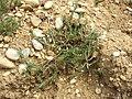 Polycnemum majus sl13.jpg