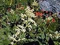 Polygonum phytolaccifolium.jpeg