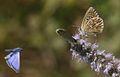 Polyommatus bellargus (Female) - Çokgözlü Gökmavisi.jpg