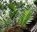 Polypodium pellucidium var. pellucidium (4756150236).jpg
