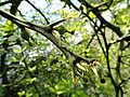 Poncirus trifoliata - Isola Madre (Stresa) - DSC03274.JPG