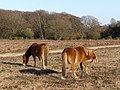 Ponies on Bratley Plain, New Forest - geograph.org.uk - 330782.jpg