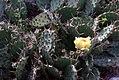 Prickly pear (5536675573).jpg