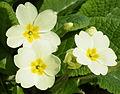 Primrose (Primula vulgaris) (3411533474).jpg