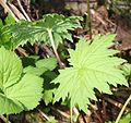 Primula jesoana var. jesoana (leaf s2).JPG