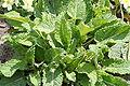 Primula vulgaris-03 (xndr).jpg