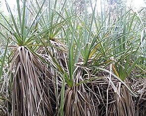 Palmenschilf (Prionium serratum)