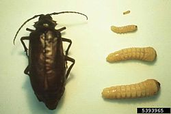 Prionus californicus.jpg