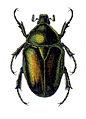 Protaetia aeruginosa.jpg