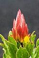Protea cynaroides RTBG 2.jpg