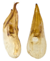 Proteinus crenulatus Pandellé, 1867 Genital (10170755895).png