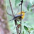 Prothonotary Warbler (female) (16971116308).jpg