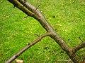 Prunus-serotina-01-12-2009-026.jpg