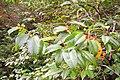 Prunus lusitanica. Lloral (frutu).jpg