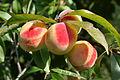 Prunus persica - Peach Hungary.jpg