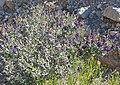 Psorothamnus fremontii 1.jpg