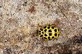 Psyllobora vigintiduopunctata (26838091395).jpg
