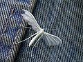 Pterophorus pentadactyla (Edkins).jpg
