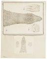 Pteropus spec. - details - 1700-1880 - Print - Iconographia Zoologica - Special Collections University of Amsterdam - UBA01 IZ20700021.tif