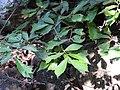 Pterospermum reticulatum-1-mundanthurai-tirunelveli-India.jpg