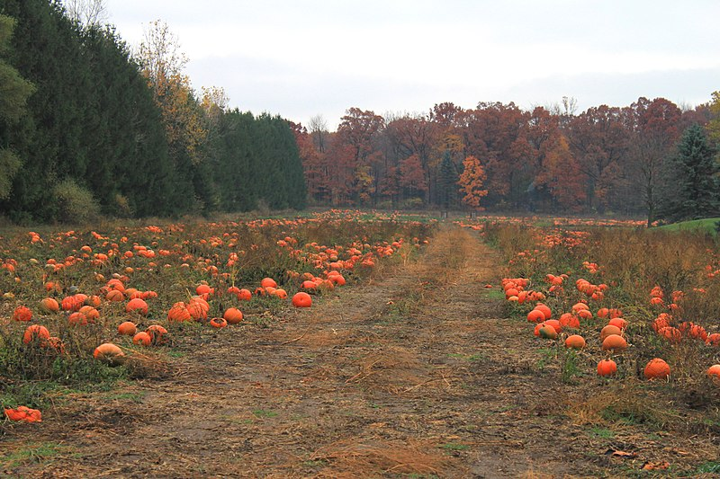 File:Pumpkin Patch, North Territorial Road, Salem Township, Michigan - panoramio.jpg