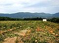 Pumpkins - panoramio (3).jpg