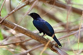 Purple-throated Cuckooshrike, Sakania, DRC (10780083663).jpg
