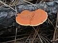 Pycnoporus sanguineus 284382.jpg